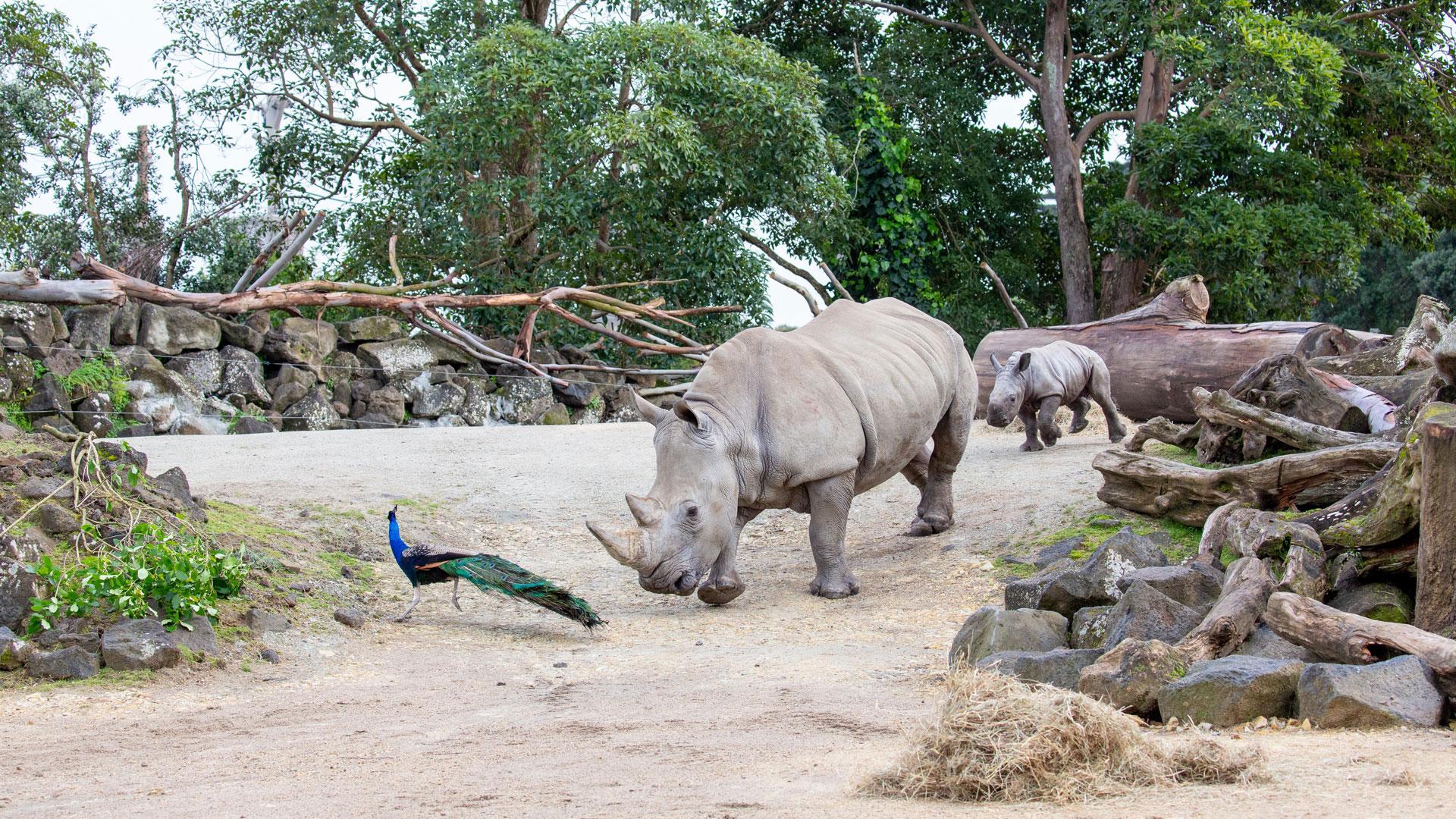 https://rfacdn.nz/zoo/assets/media/rhino-calf-in-habitat-gallery-5.jpg