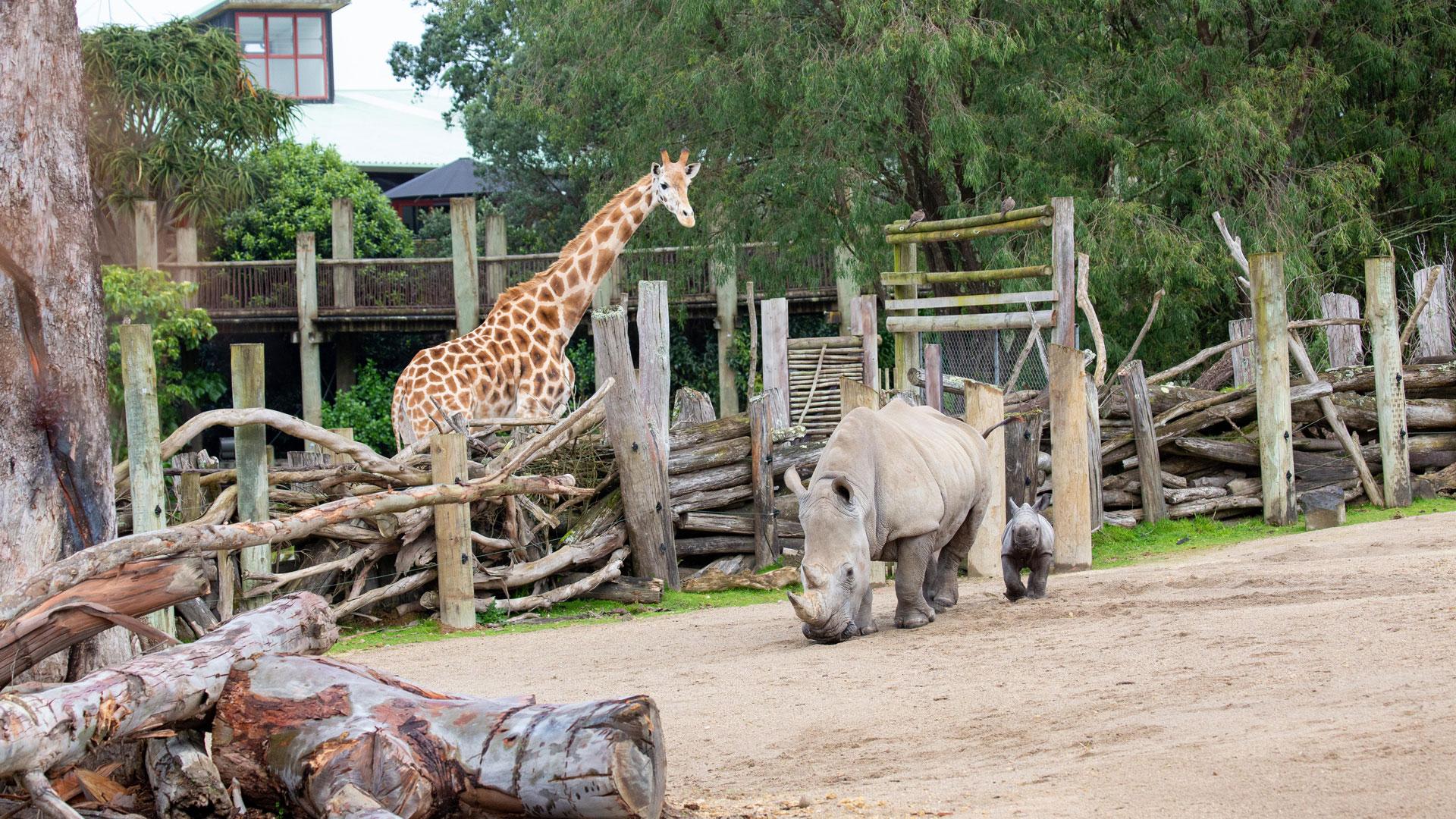 https://rfacdn.nz/zoo/assets/media/rhino-calf-in-habitat-gallery-7.jpg