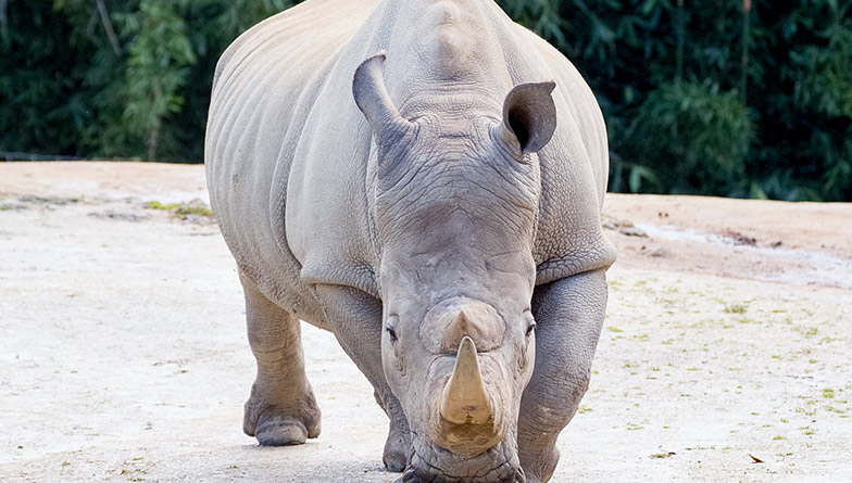 https://rfacdn.nz/zoo/assets/media/rhino-closeup-rectangle.jpg