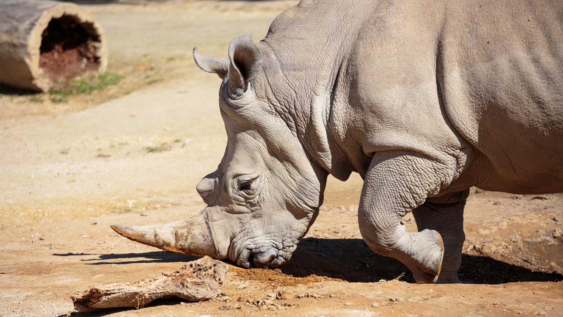 https://rfacdn.nz/zoo/assets/media/rhino-gallery-2.jpg