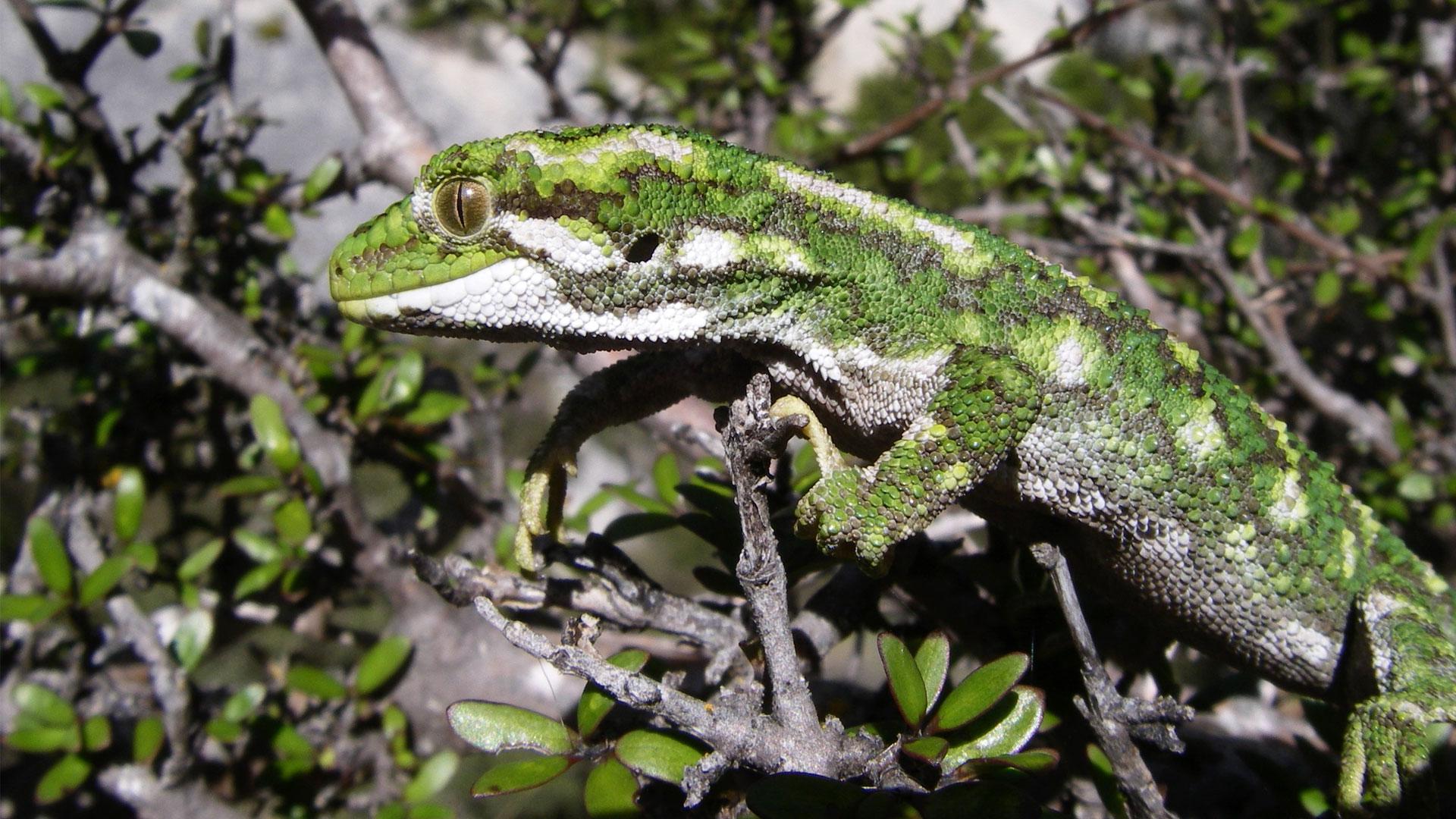 https://rfacdn.nz/zoo/assets/media/rough-gecko-gallery-10.jpg