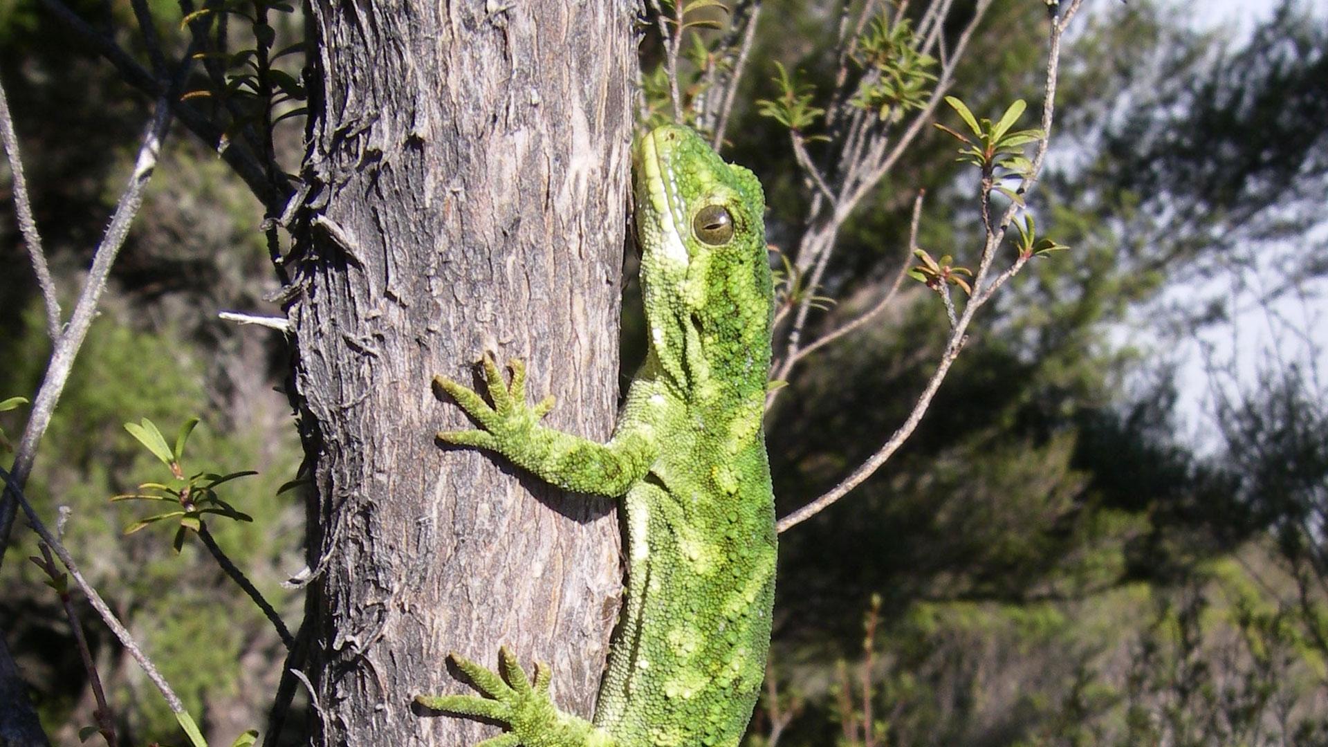 https://rfacdn.nz/zoo/assets/media/rough-gecko-gallery-2.jpg