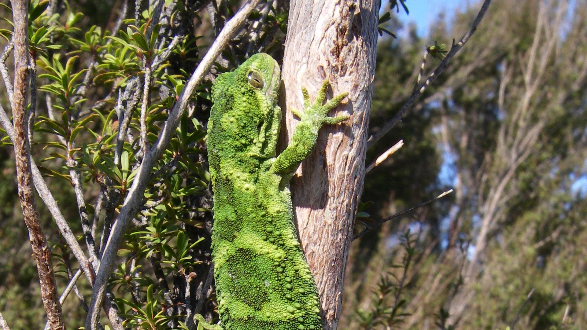 https://rfacdn.nz/zoo/assets/media/rough-gecko-gallery-3.jpg