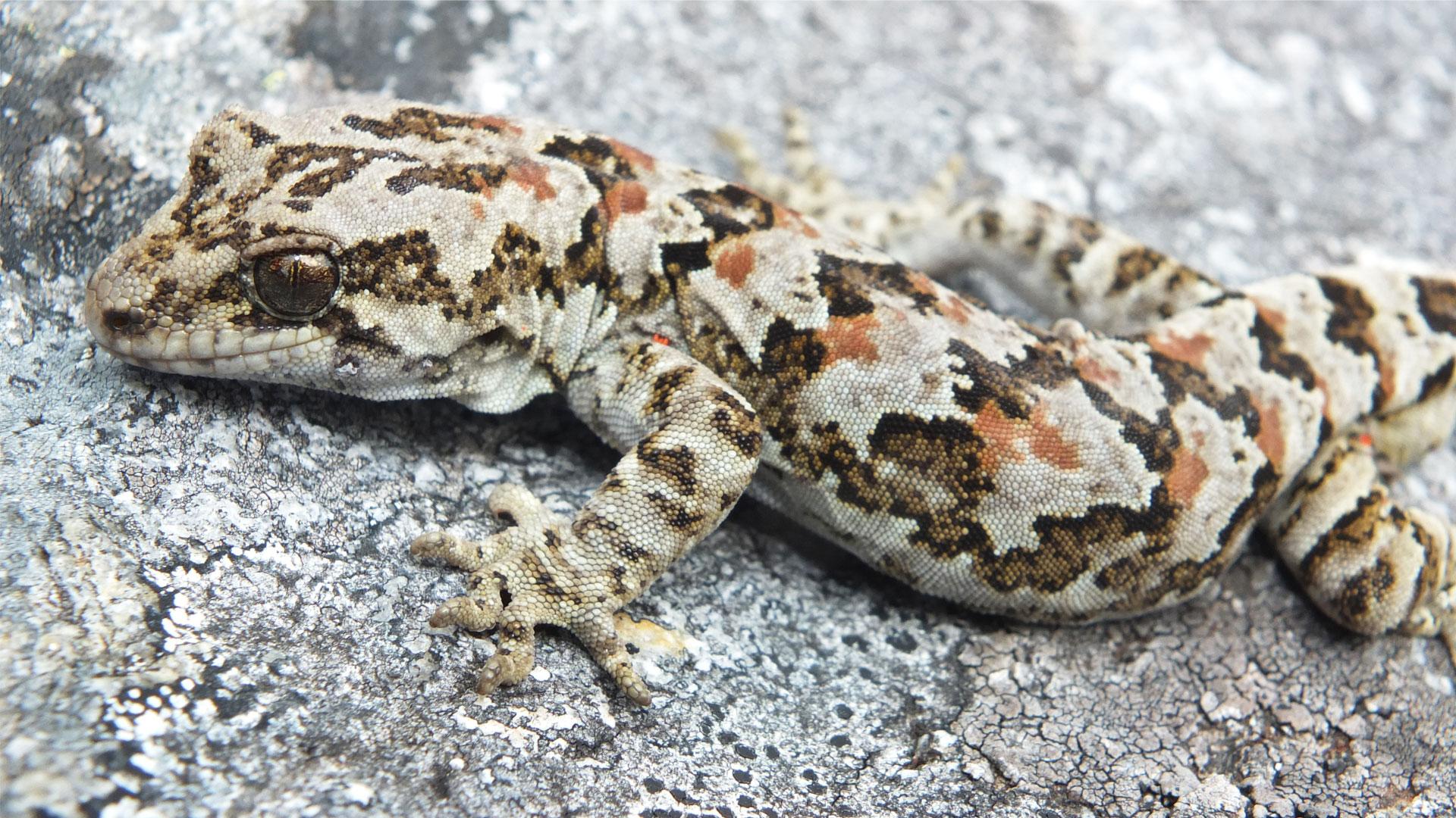 https://rfacdn.nz/zoo/assets/media/rough-gecko-gallery-4.jpg
