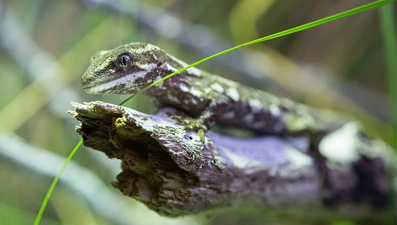 https://rfacdn.nz/zoo/assets/media/rough-gecko-rectangle.jpg