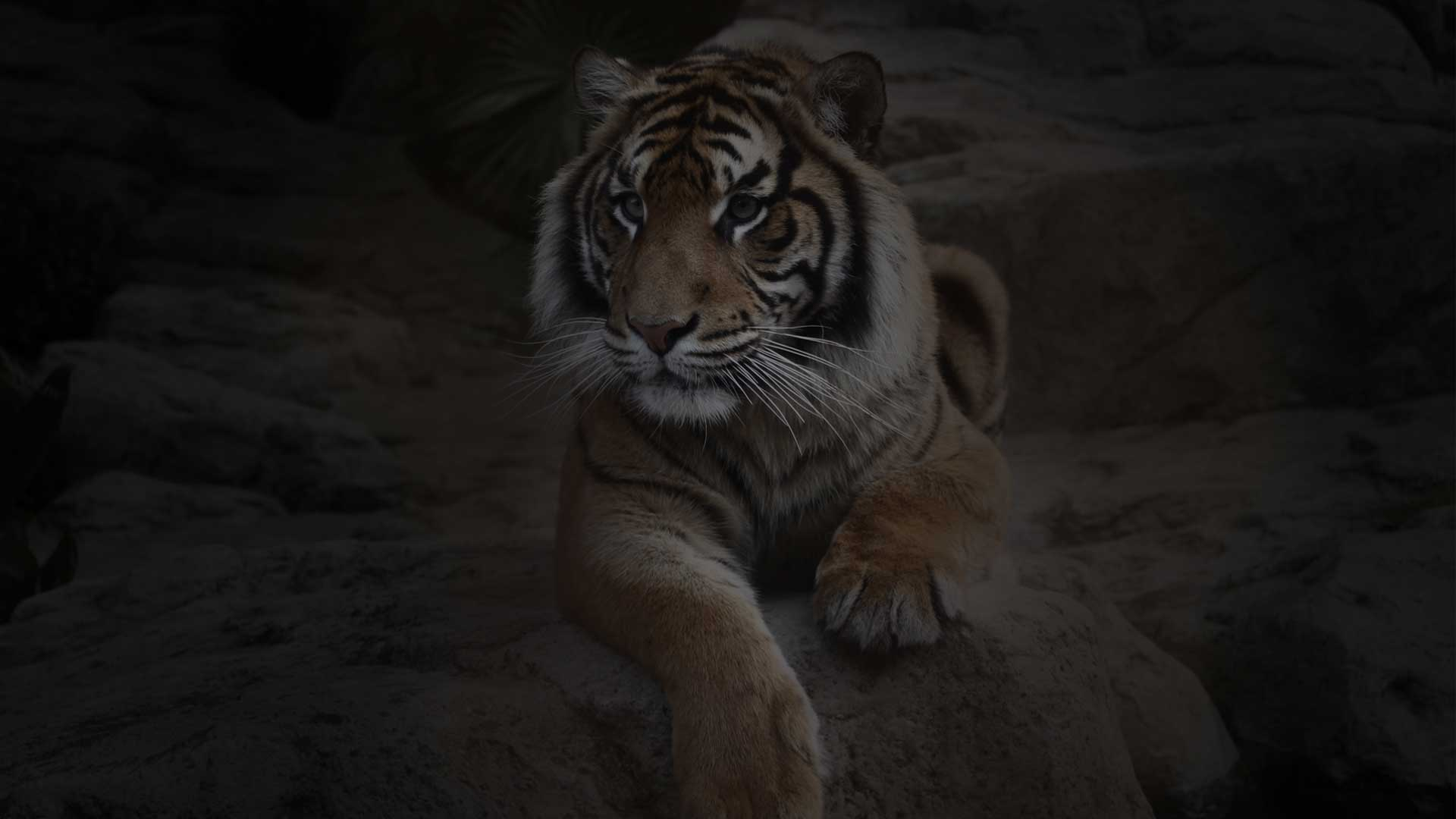 https://rfacdn.nz/zoo/assets/media/safari-night-tiger-night-gallery.jpg