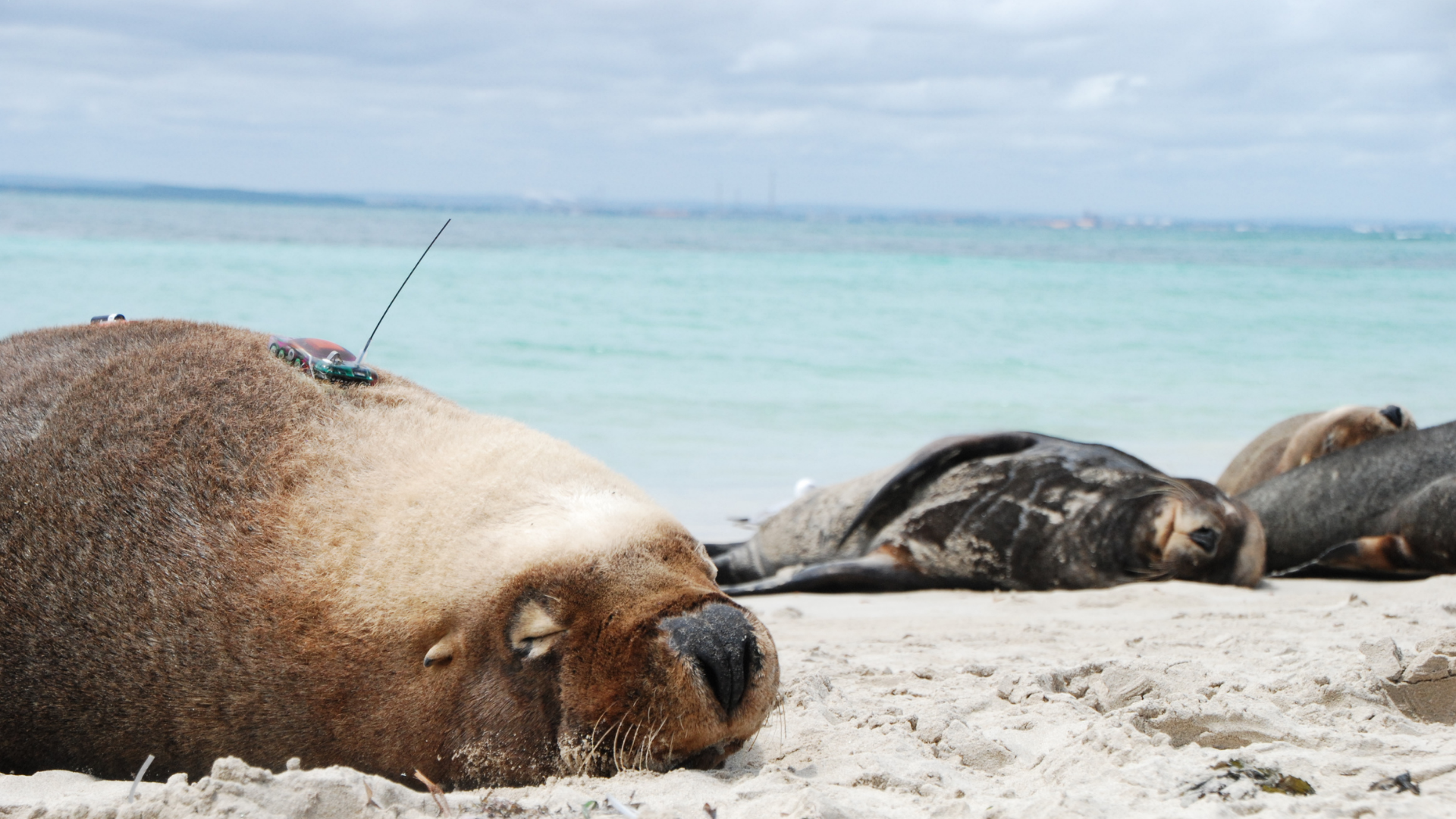 https://rfacdn.nz/zoo/assets/media/sea-lion-satellite-tagging-2.png