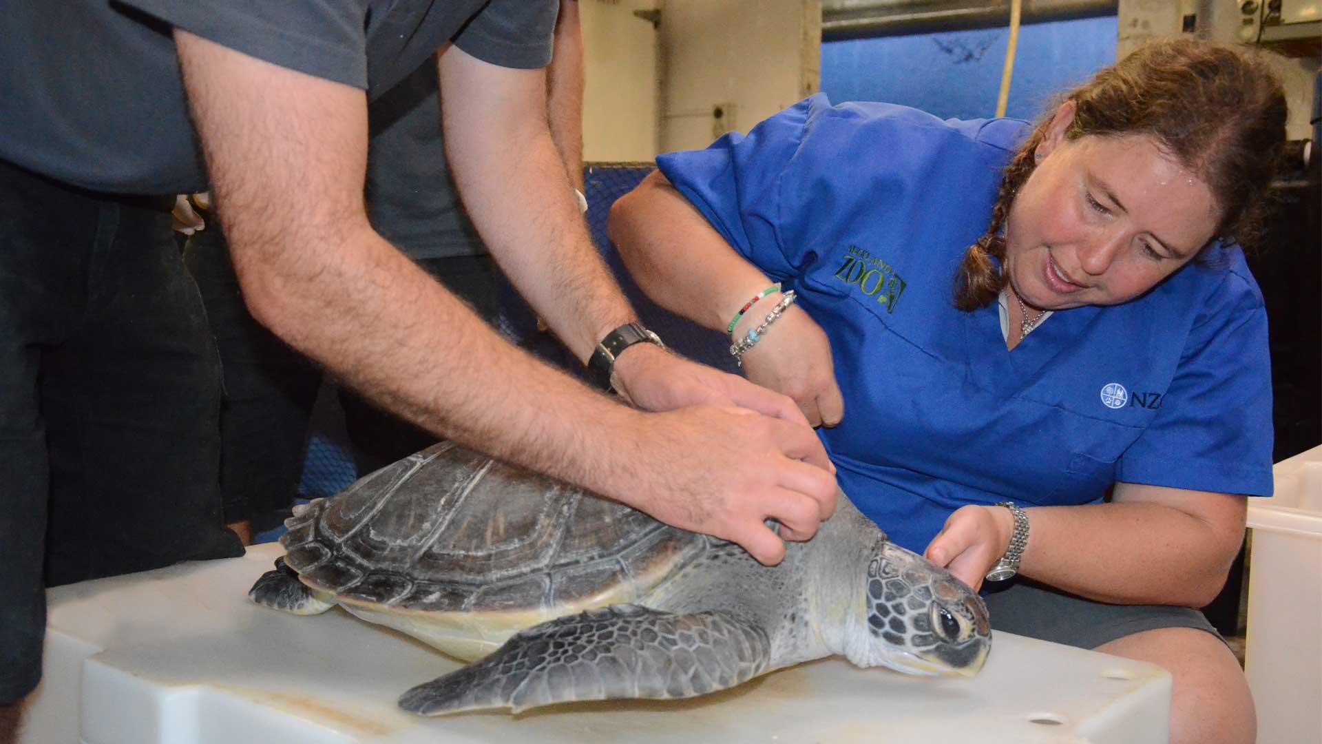 https://rfacdn.nz/zoo/assets/media/sea-turtle-treatment-gallery-1.jpg