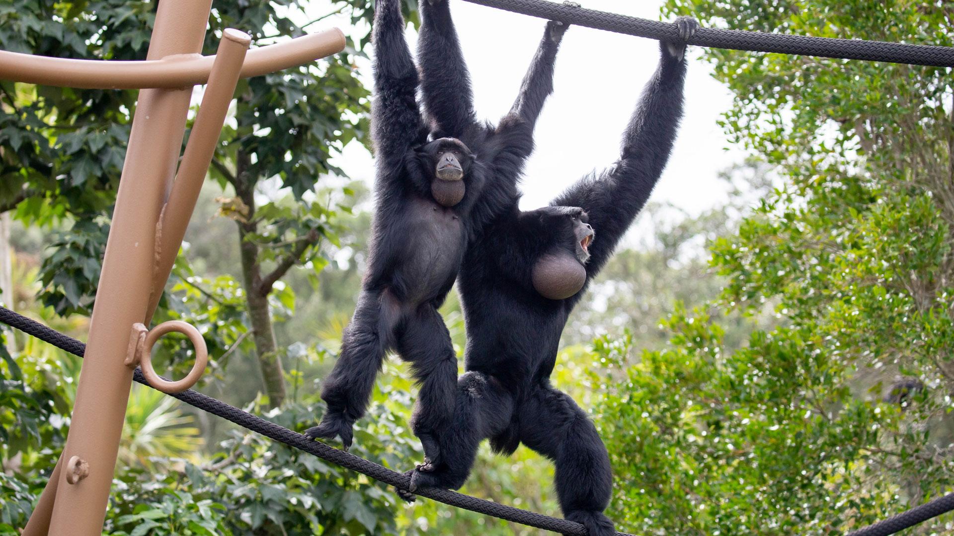 https://rfacdn.nz/zoo/assets/media/siamang-gibbon-gallery-1.jpg