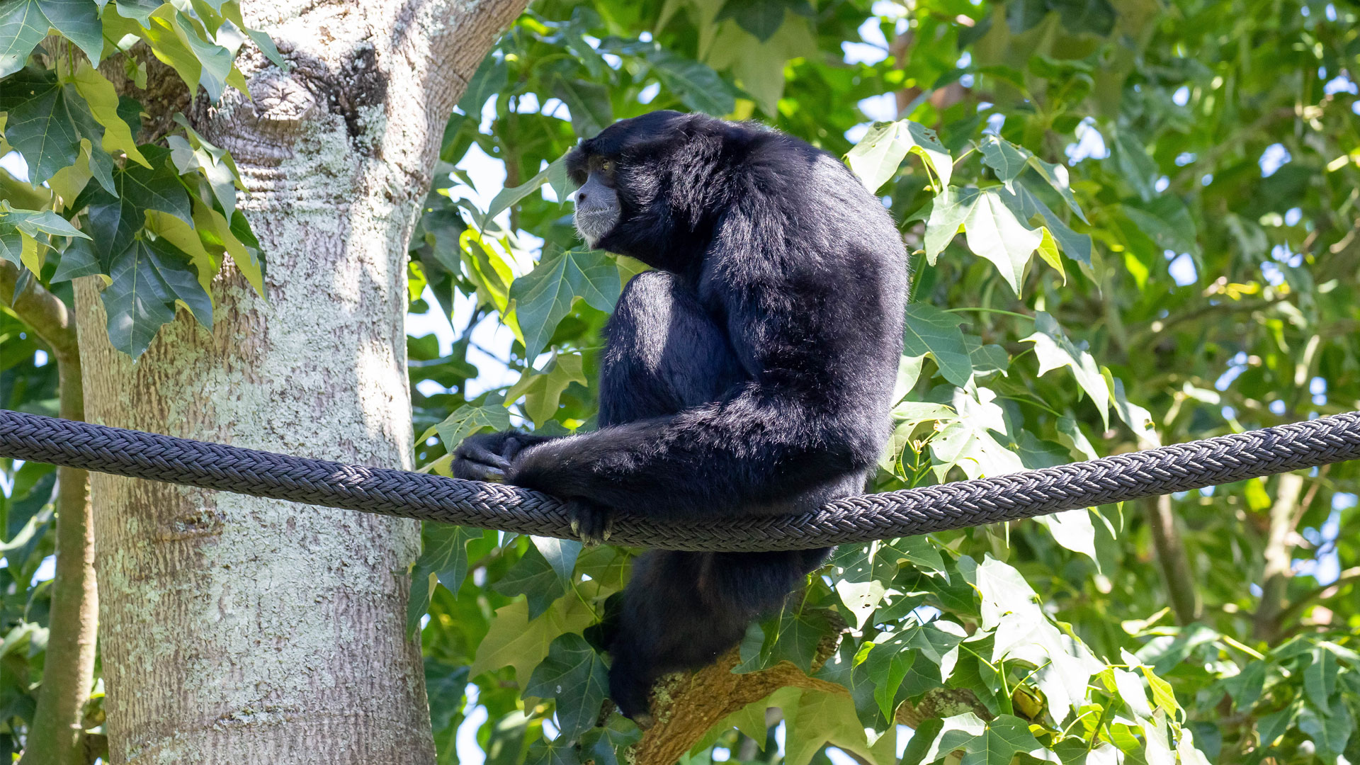https://rfacdn.nz/zoo/assets/media/siamang-gibbon-gallery-2.jpg