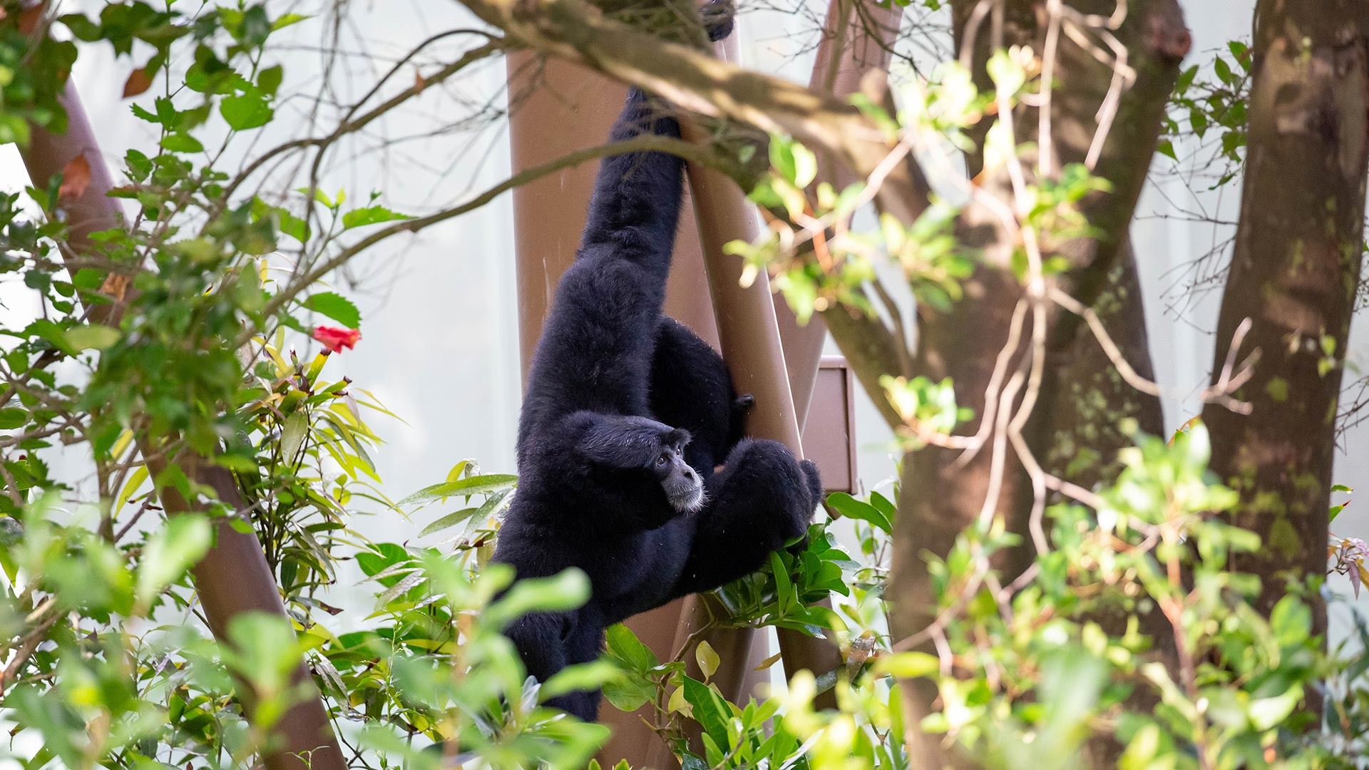 https://rfacdn.nz/zoo/assets/media/siamang-hanging-off-tree-structure-gallery.jpg