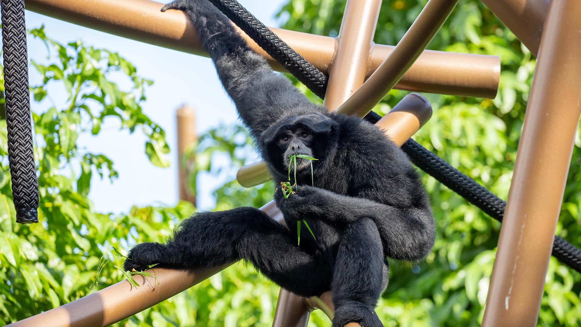 https://rfacdn.nz/zoo/assets/media/siamang-sitting-and-eating-grass-gallery.jpg