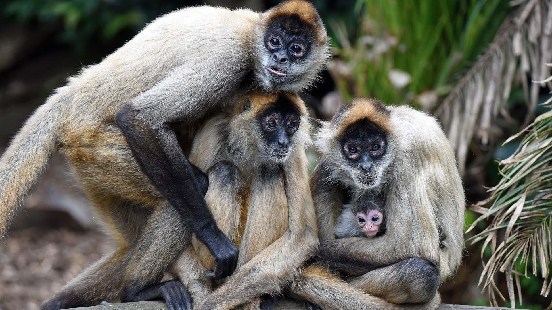 https://rfacdn.nz/zoo/assets/media/spider-monkey-baby-gallery.jpg