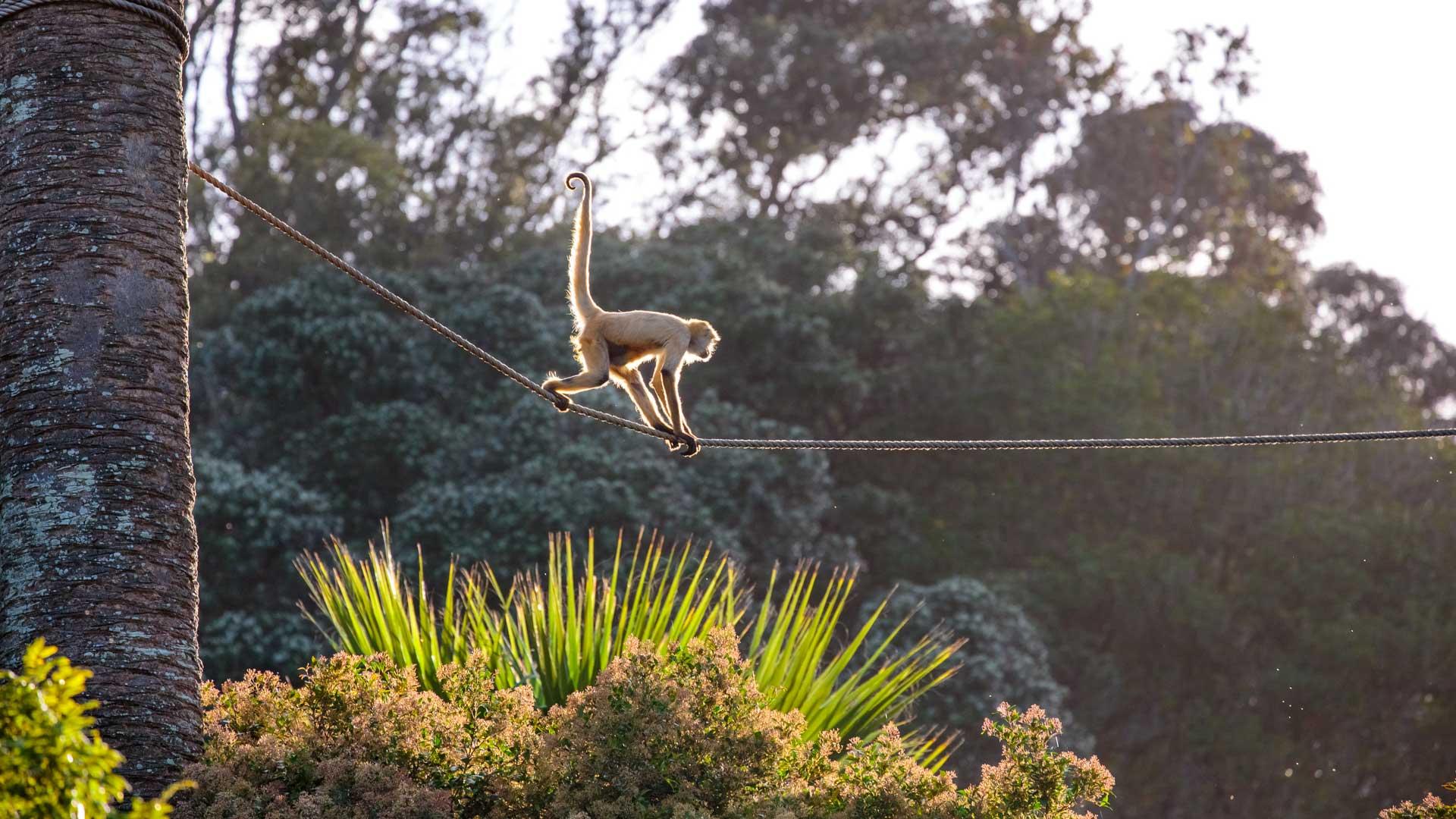 https://rfacdn.nz/zoo/assets/media/spider-monkey-gallery-5.jpg