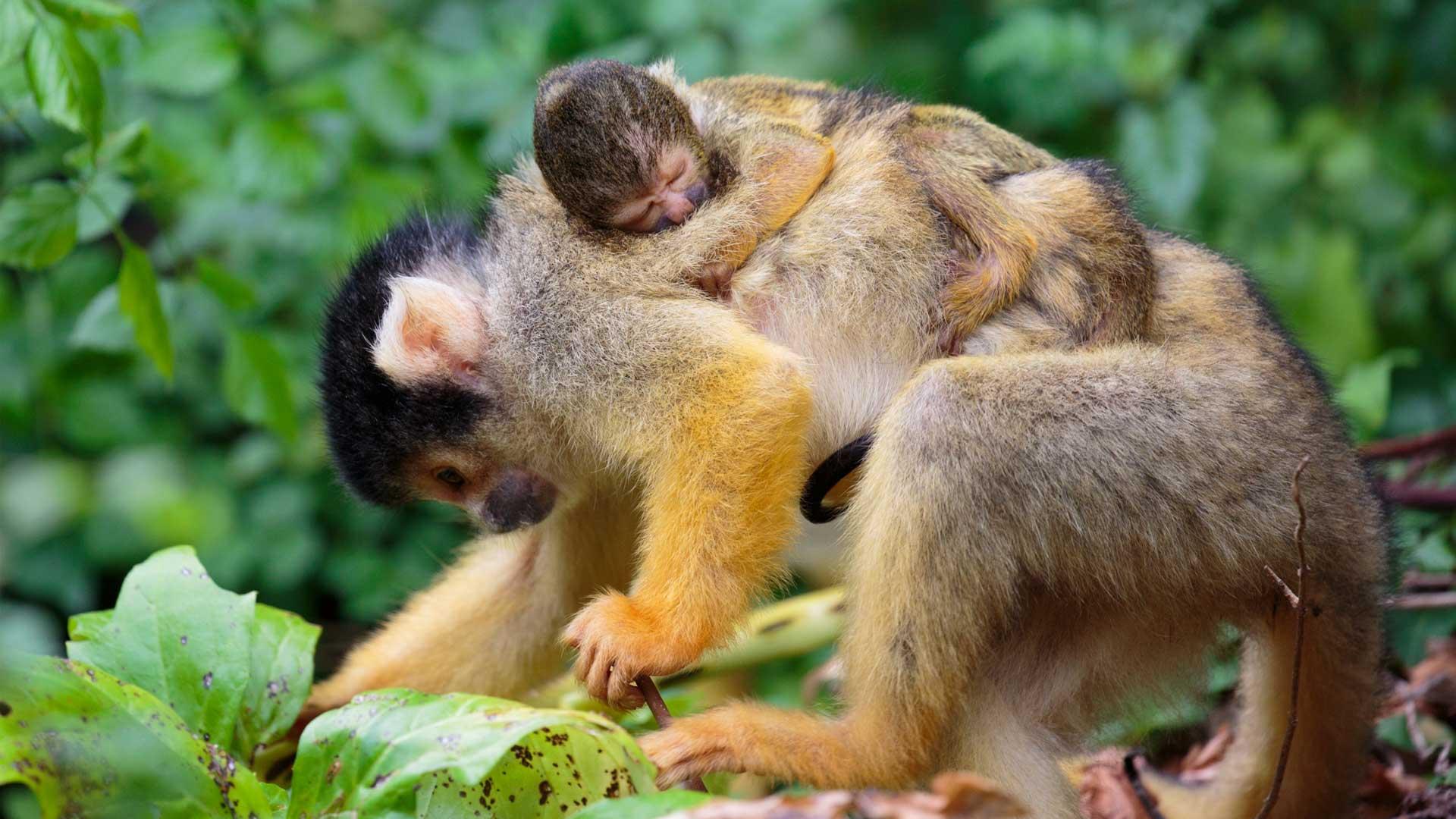 https://rfacdn.nz/zoo/assets/media/squirrel-monkey-picaro-gallery-1.jpg