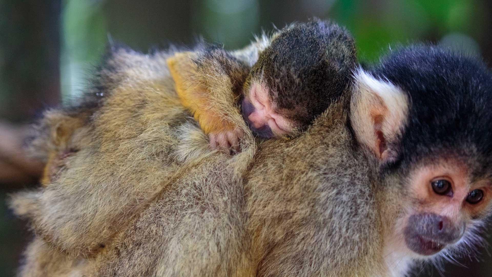 https://rfacdn.nz/zoo/assets/media/squirrel-monkey-picaro-gallery-3.jpg