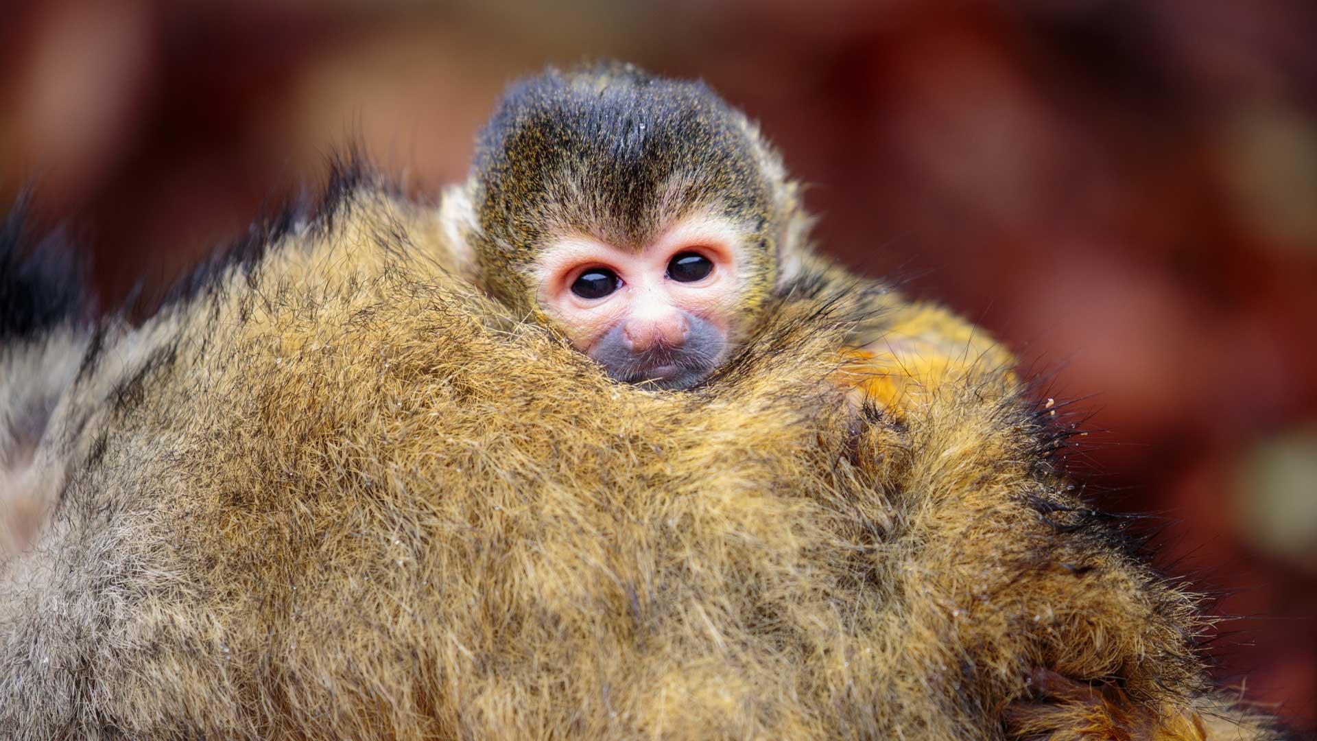 https://rfacdn.nz/zoo/assets/media/squirrel-monkey-picaro-gallery-4.jpg