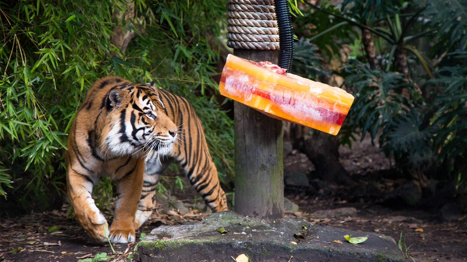 https://rfacdn.nz/zoo/assets/media/sumatran-tiger-berani-gallery-4.jpg