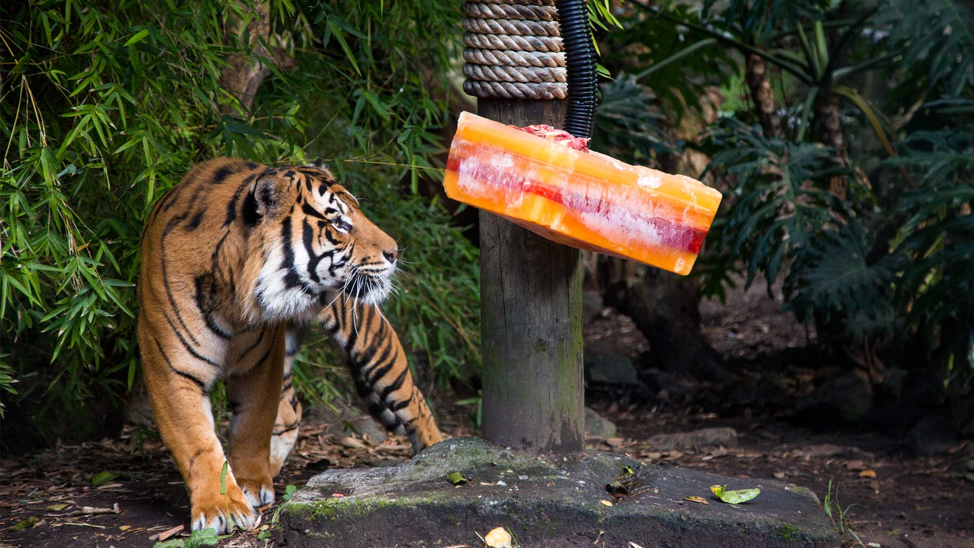 https://rfacdn.nz/zoo/assets/media/sumatran-tiger-berani-gallery-5.jpg