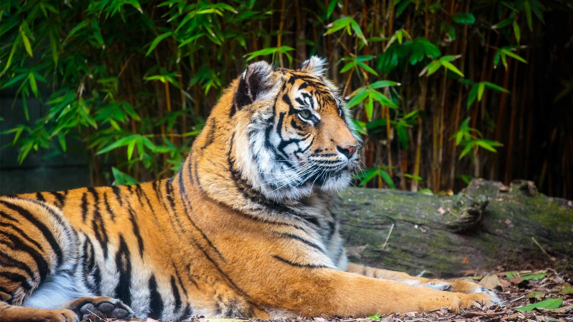 https://rfacdn.nz/zoo/assets/media/sumatran-tiger-gallery-4.jpg