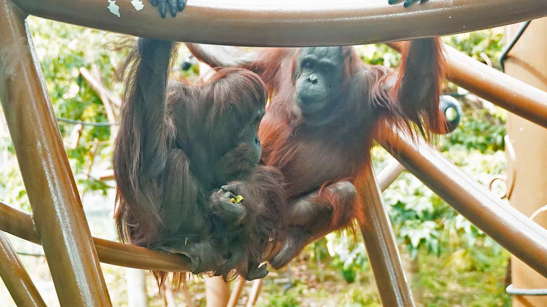 https://rfacdn.nz/zoo/assets/media/tara-orangutan-gallery-1.jpg