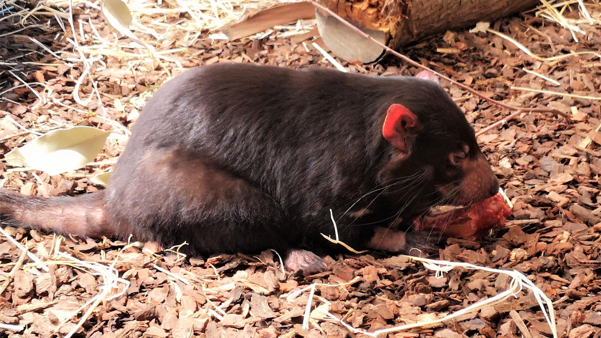 https://rfacdn.nz/zoo/assets/media/tasmanian-devil-dash-gallery-4.jpg