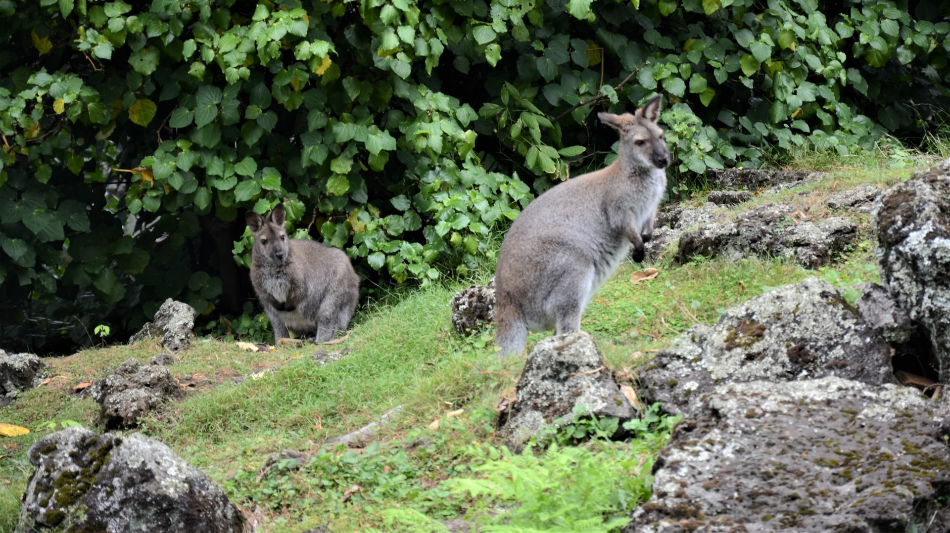 https://rfacdn.nz/zoo/assets/media/wallabies-on-grass-gallery.jpg