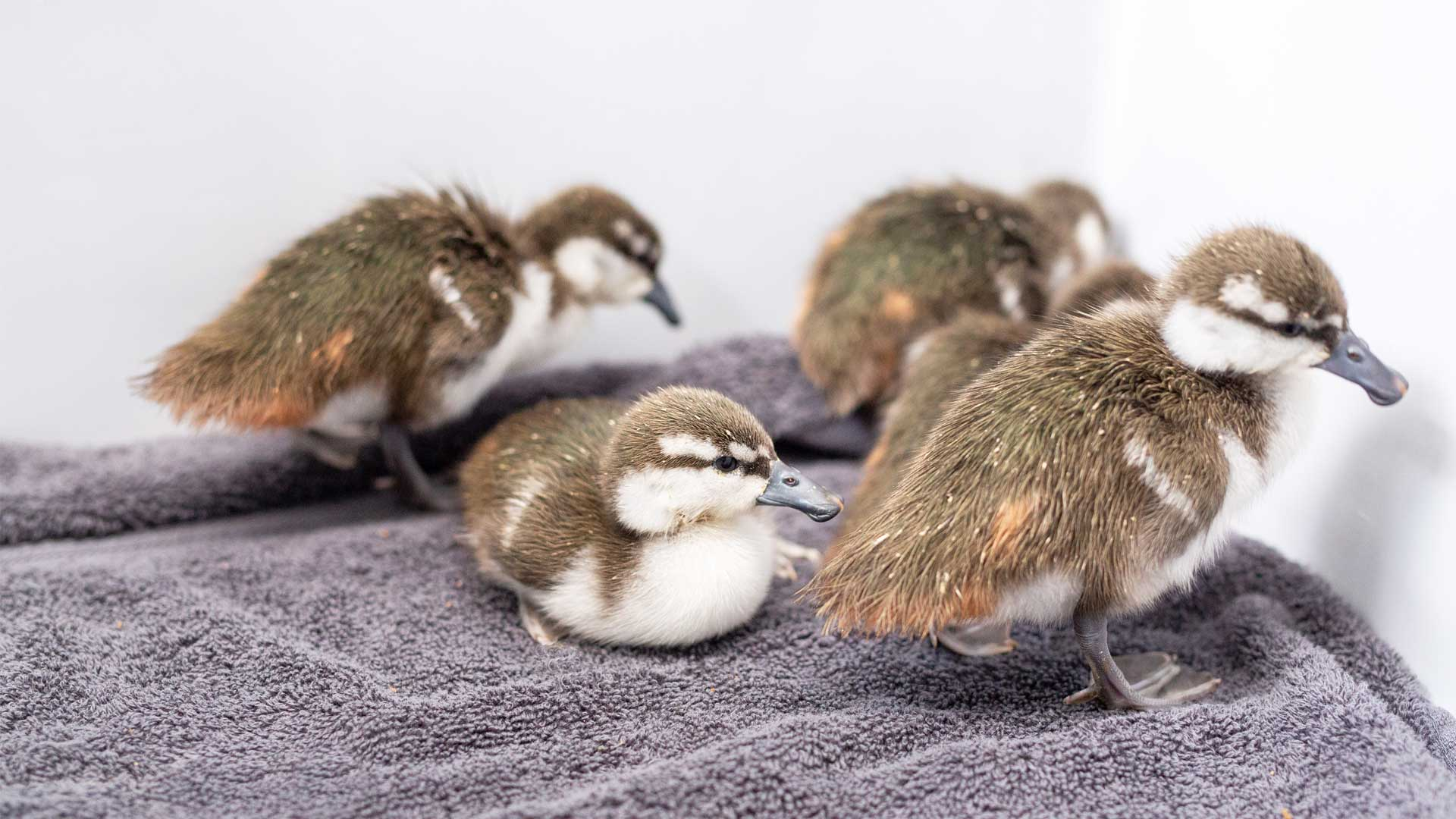 https://rfacdn.nz/zoo/assets/media/whio-duckling-gallery-7.jpg