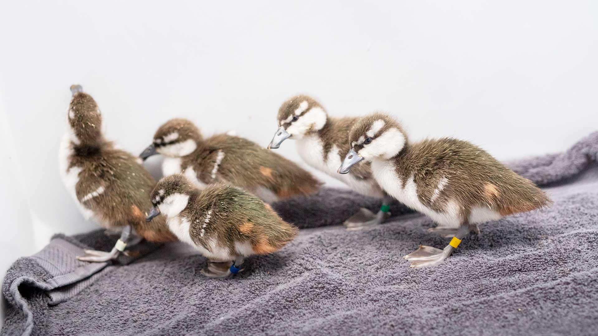 https://rfacdn.nz/zoo/assets/media/whio-duckling-gallery-8.jpg