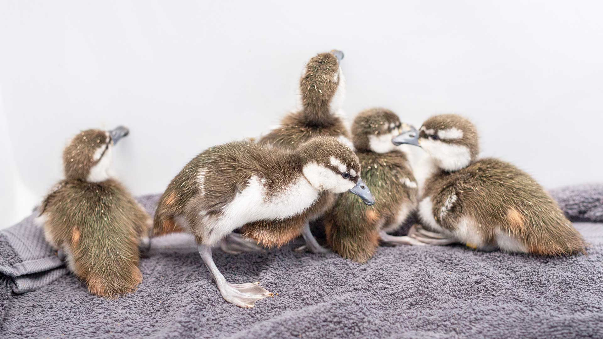 https://rfacdn.nz/zoo/assets/media/whio-duckling-gallery-9.jpg