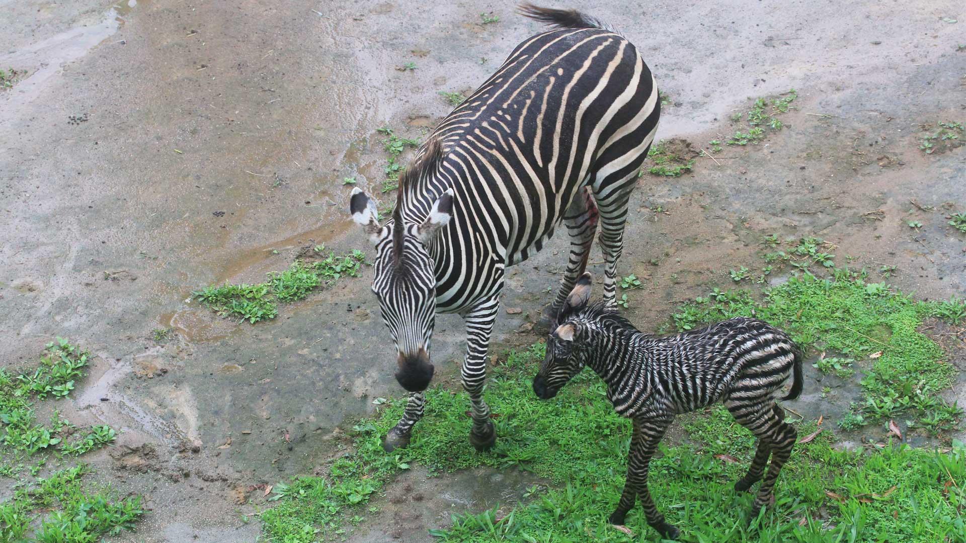 https://rfacdn.nz/zoo/assets/media/zebra-calf-gallery-1.jpg