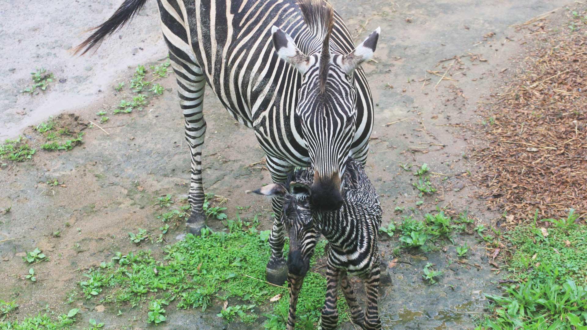 https://rfacdn.nz/zoo/assets/media/zebra-calf-gallery-2.jpg