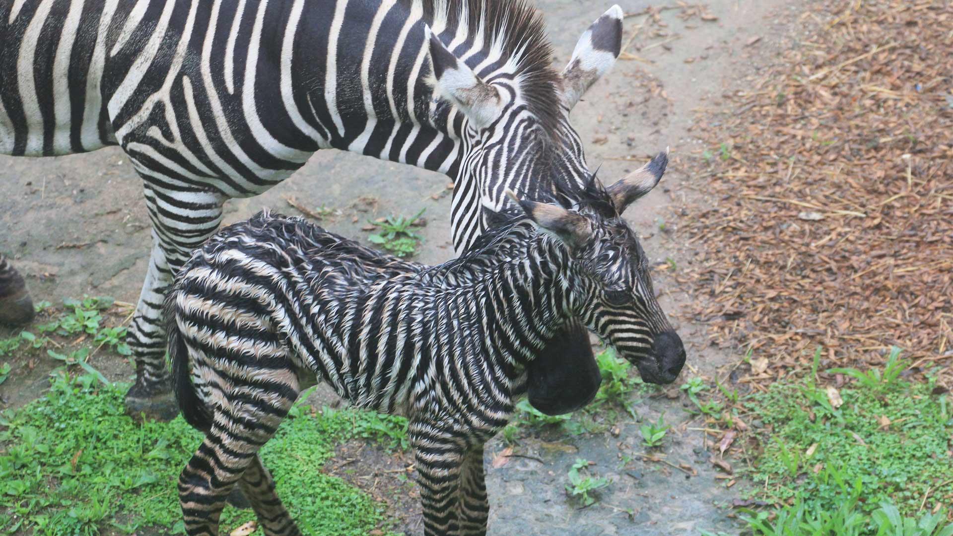 https://rfacdn.nz/zoo/assets/media/zebra-calf-gallery-3.jpg